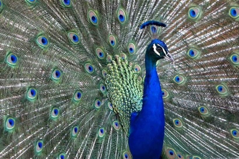 Peacocks, Revered Symbol Of Indian Subcontinent, Dying Out