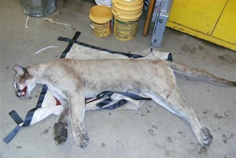 A mountain lion killed on a Connecticut highway in June, is pictured in this undated file photograph.