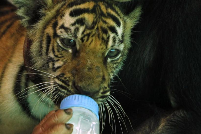 Photos: Chimpanzee Feeds Milk to Tiger Cub
