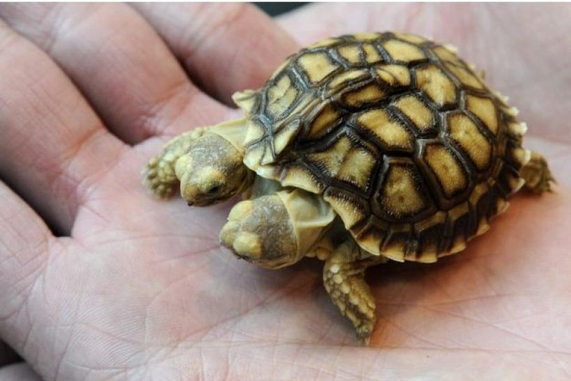 An African spurred tortoise with two heads and five legs is displayed in Zilina