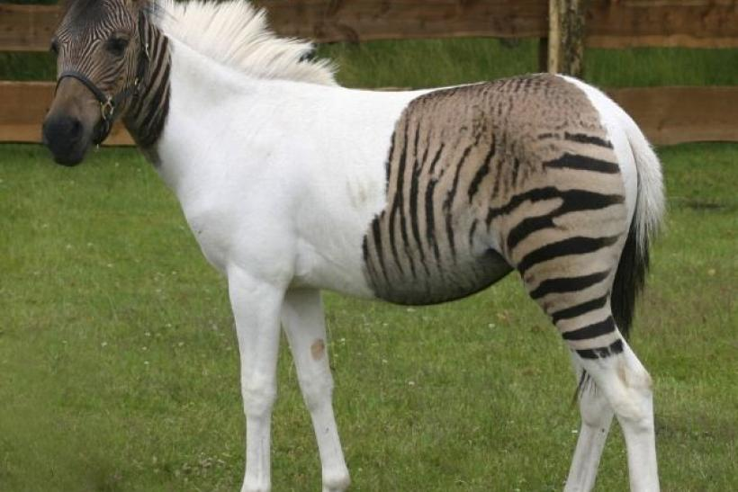 Horse and zebra hybrid foal 'Eclyse' is pictured in the Safaripark in Holte-Stukenbrock