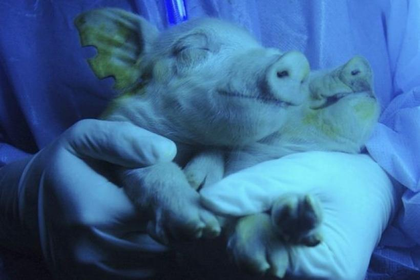 Two piglets, which were given birth by a transgenic pig, are irradiated under ultraviolet radiation showing their green fluorescence protein feature at a hogpen in Harbin