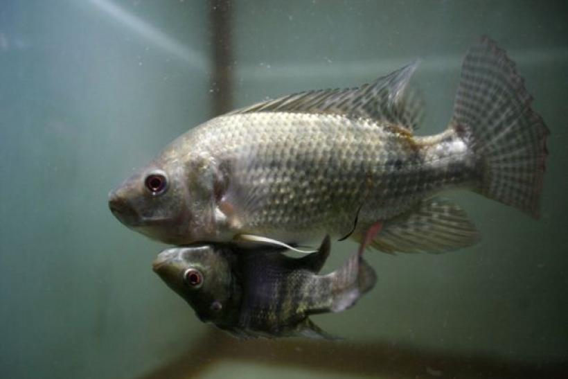 "Two conjoined Nile Tilapia fish, dubbed ""Siamese Twin"", swim in a small aquarium in Bangkok"