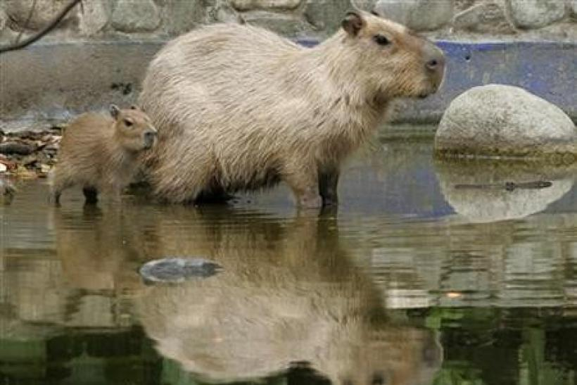 A capybaras (Hydrochoerus hydrochaeris), born in captivity 15 days ago, follows its mother at the Santa Fe Zoo in Medellin