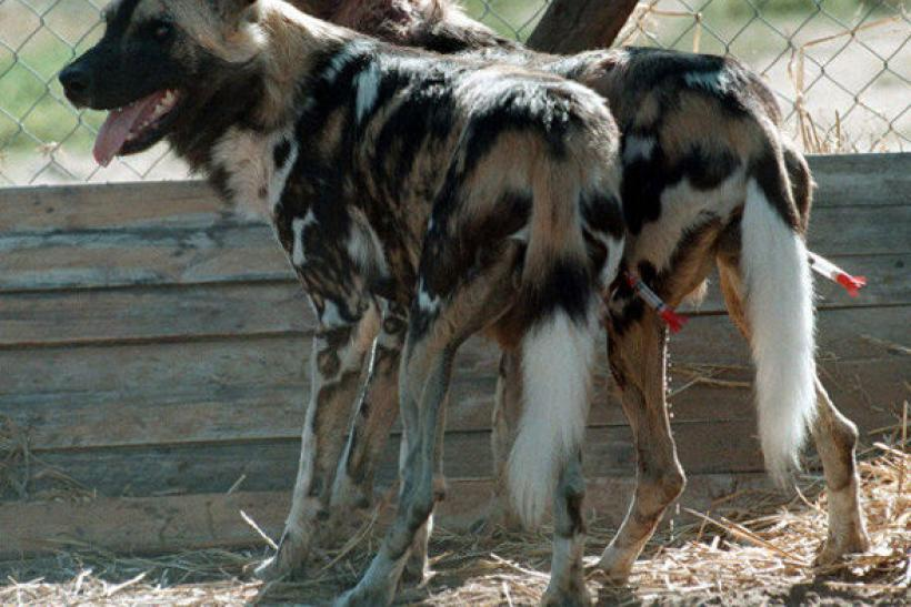 Wild African Painted Dogs