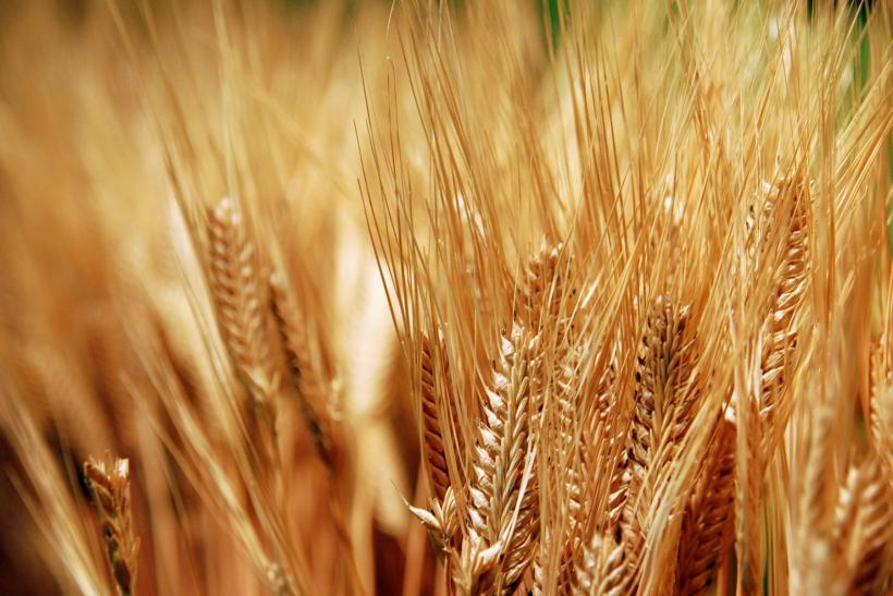 Unapproved Monsanto GMOs Found In Oregon Shake Wheat Market