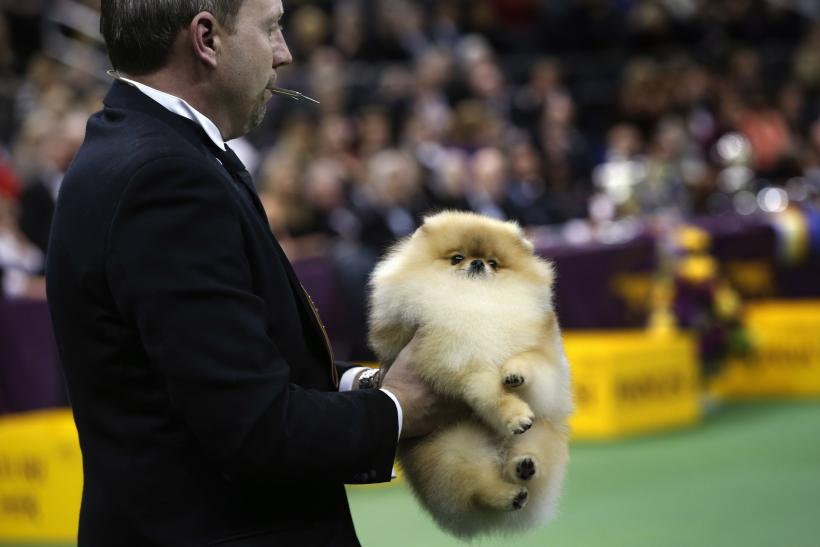 Westminster Dog Show 2013 Meet Banana Joe And The Other Dogs Who