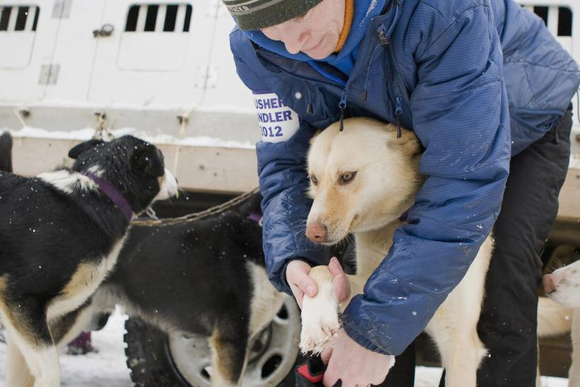 A handler checks up on a sled dog