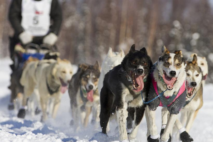 Tom Thurston, a musher in the 40th Iditarod