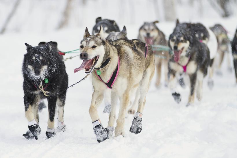 Zoya DeNure sled dogs during the 40th Iditarod