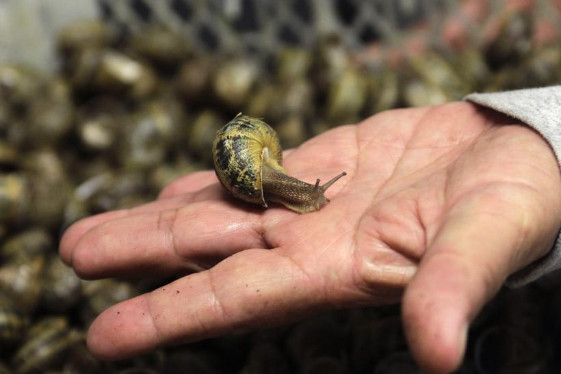 Snails In Ireland Tell Story Of Ancient Human Migration