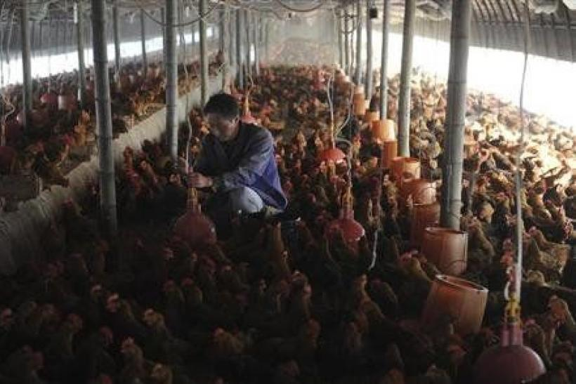 Chinese Chicken Farm