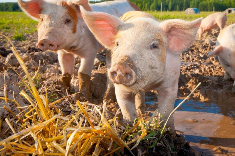 Hogs Pigs Sweden by Shutterstock