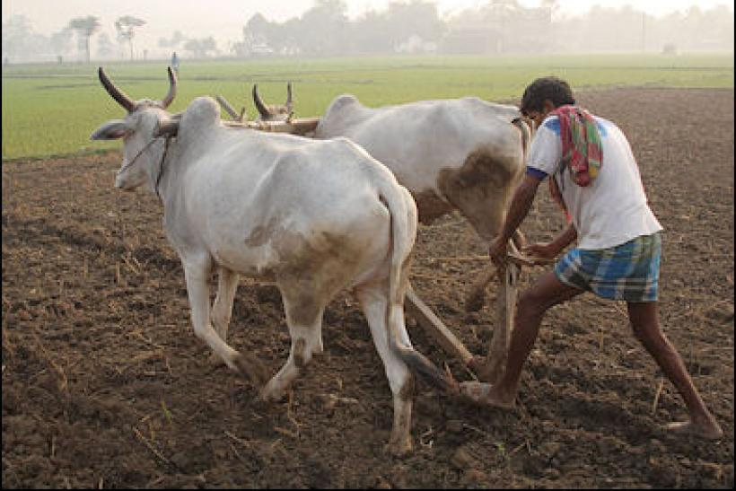Cattle in West Bengal