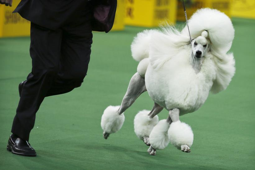 Th National Dog Show  Toy Group