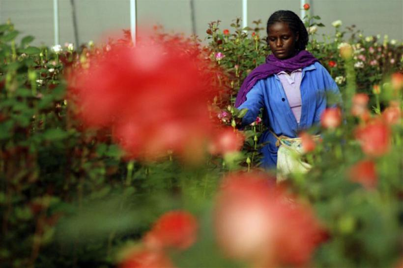 Woman harvests roses in a greenhouse at the ET Highland Flora flower farm just outside Ethiopian capital, Addis Ababa,