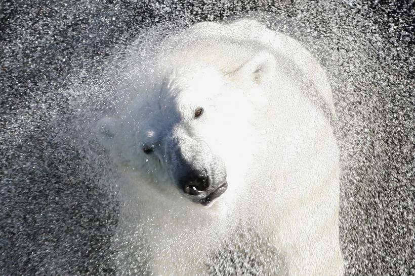 National Polar Bear Day: 20 Interesting Facts About Polar Bears