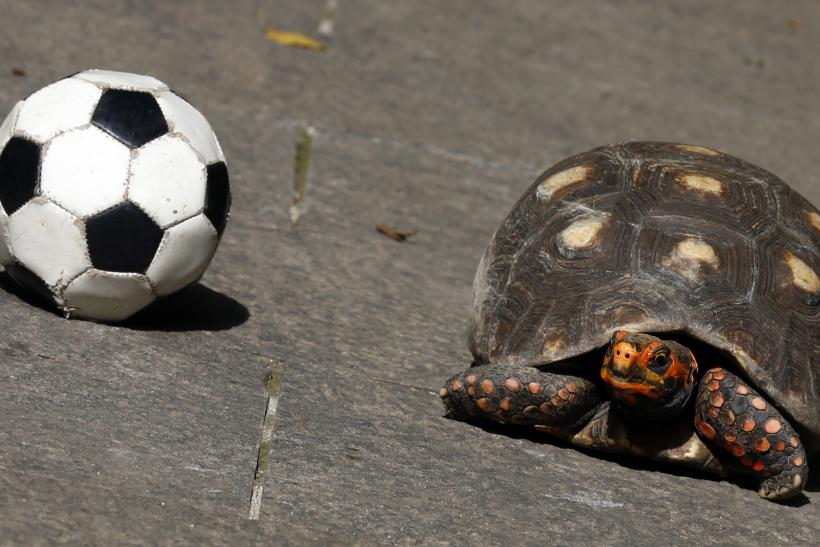 Brazil World Cup_Tina the Turtle