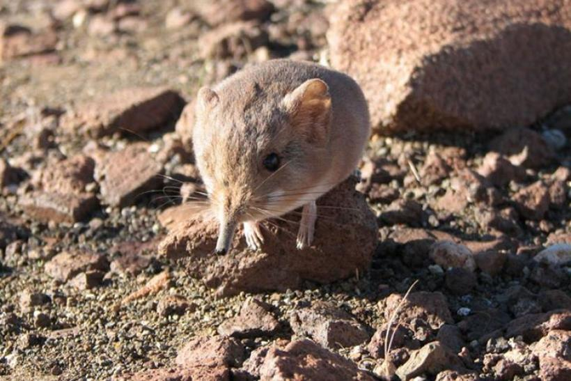 elephant-shrew-species