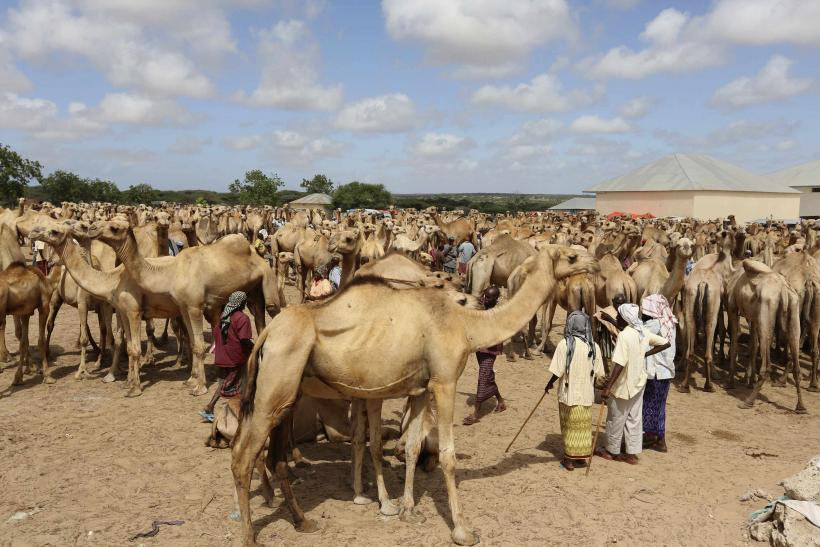 MERS Virus Detected In The Air In A Saudi Arabia Camel Barn