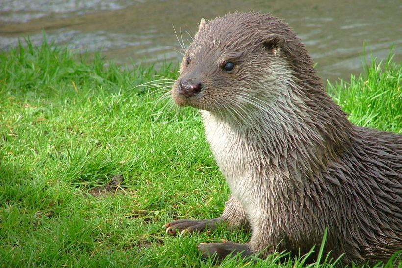 Mean River Otter