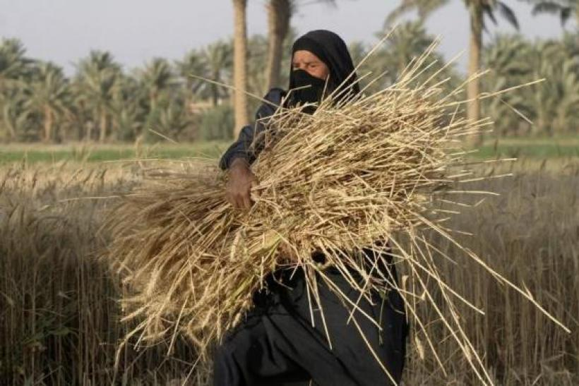Iraqi wheat