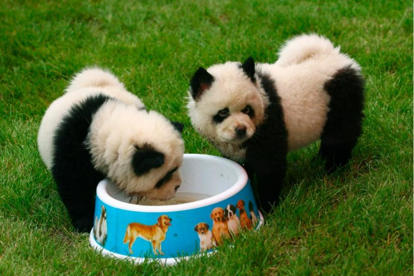 chow chow puppies disguised as pandas get italian circus