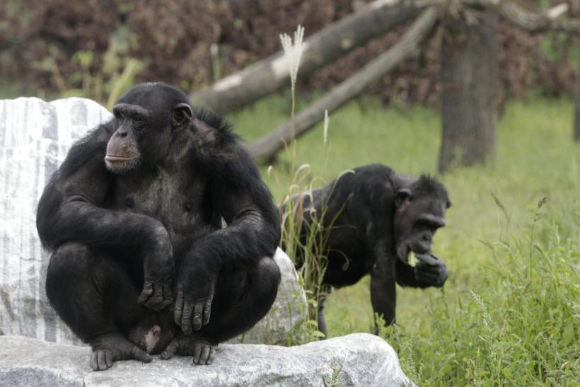 chimpanzees-learn-call