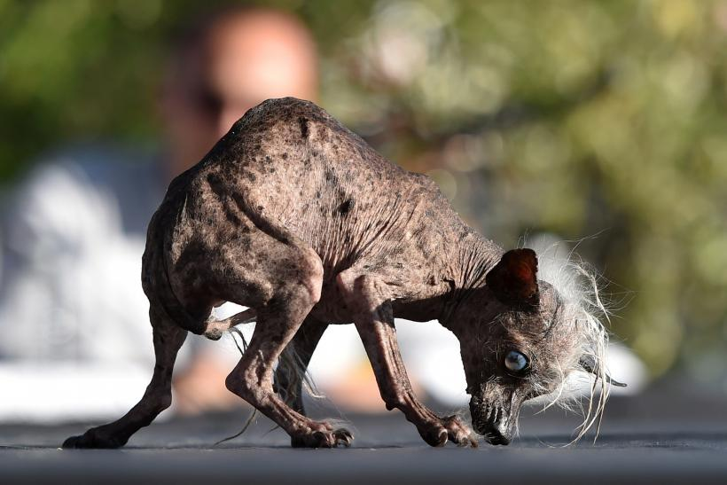 World's Ugliest Dog contest
