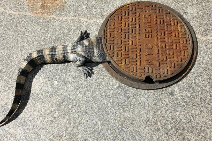 nyc alligator