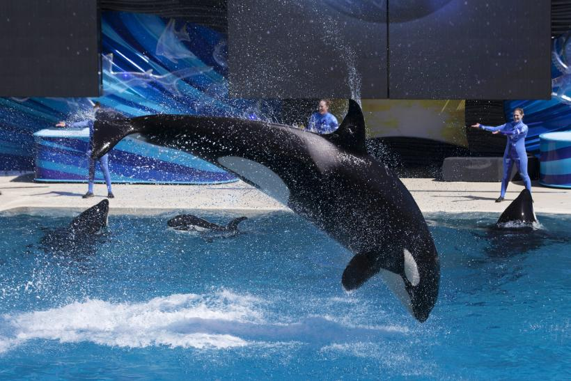 SeaWorld killer whale show