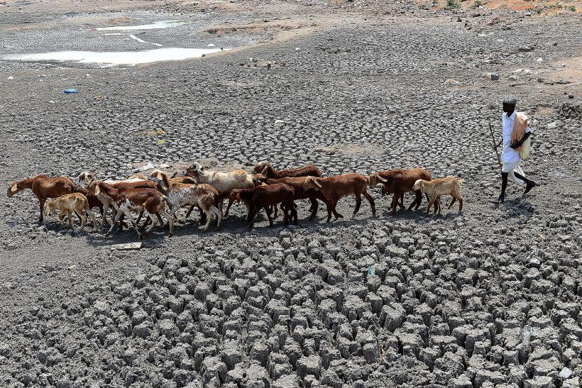 India Drought Cattle