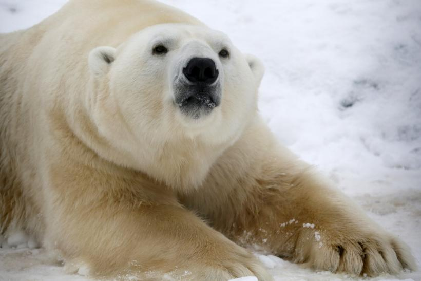 Polar-Bear-Preservation-Solution-Microchip-Smuggling