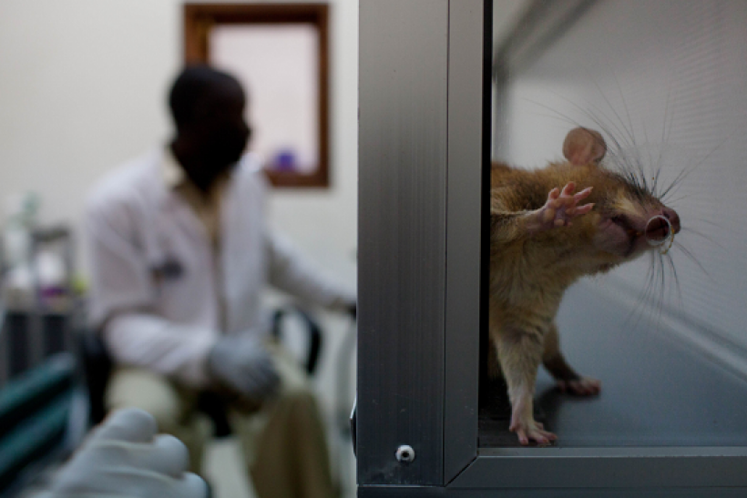 A baby giant African pouch rat looks for its reward in an opening of a lab training box Belgian in NGO in Morogoro, Tanzania on October 27, 2010