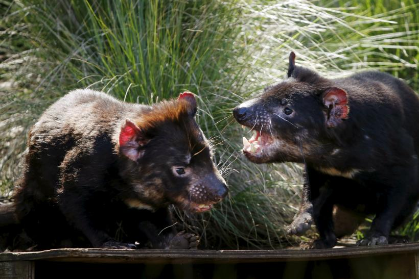 Tasmanian Devils beating cancer