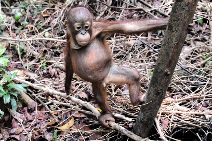 The Smithsonian's National Zoo announced the birth of a new baby orangutan.