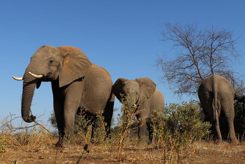 African Ivory Trade: 25,000 Elephants Killed By Poachers In
