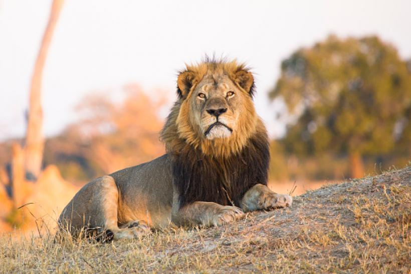 first look amazing selection big sale Xanda, Cecil The Lion's Son, Killed By Trophy Hunter