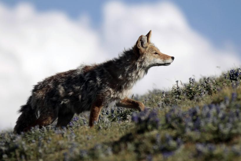 A coyote, also known as the American jackal