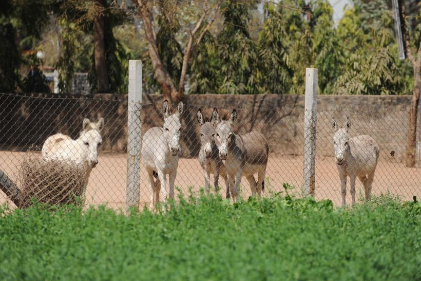 donkeys arrested in India