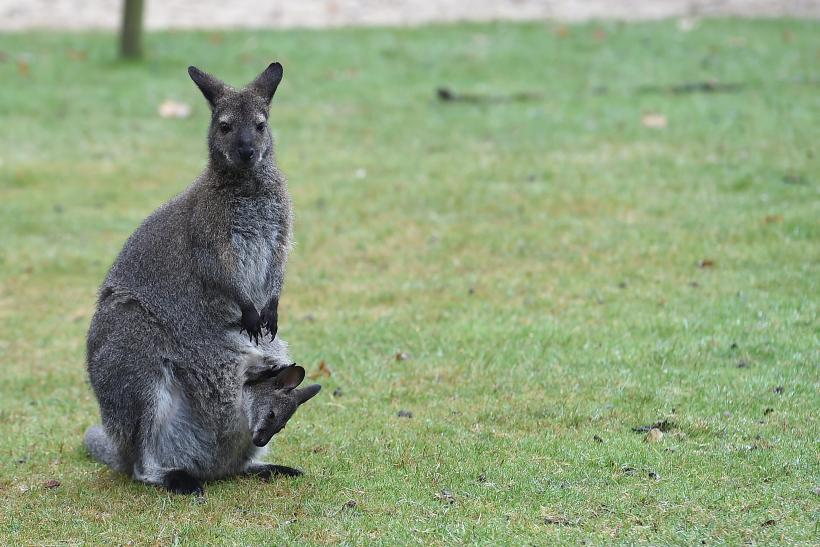 Wallaby leads police on chase