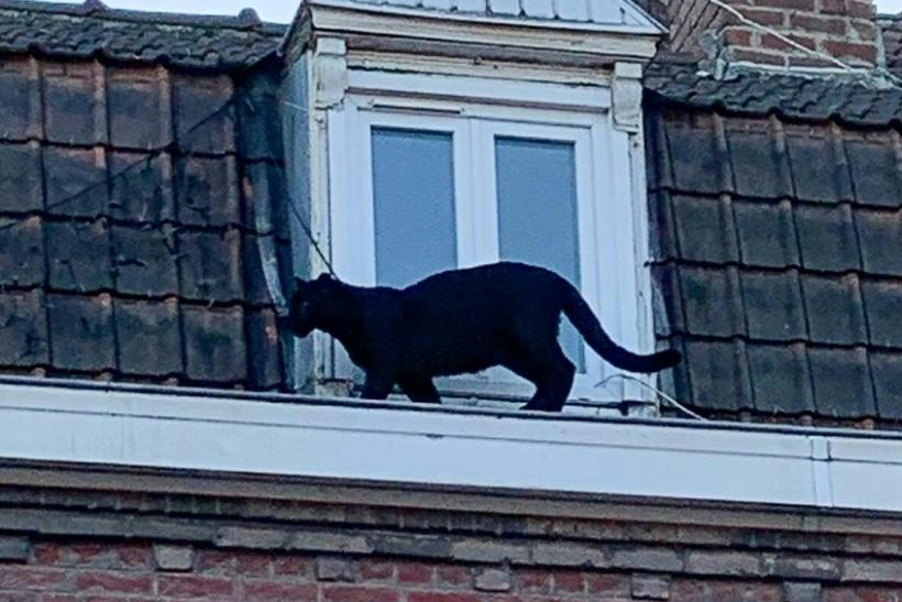 A black panther rescued from rooftops near the northern city of Lille last week has been stolen from the zoo where it was taken after capture
