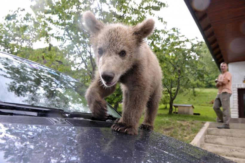 Matevz Logar watches as brown bear cub Medo climbs on a car in Podvrh village, central Slovenia