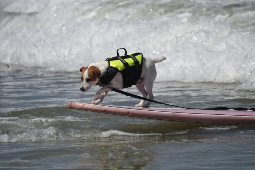 A dog rides on the nose of his surfboard during the Loews Surf Dog Competition in Imperial Beach