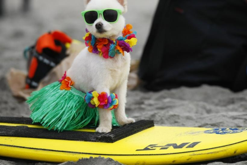 "A six-year old Pomeranian named Bobby Gorgeous waits to compete in his 20lbs and under heat at the 4th annual Helen Woodward Animal Center ""Surf Dog Surf-A-Thon"" at dog beach in Del Mar"
