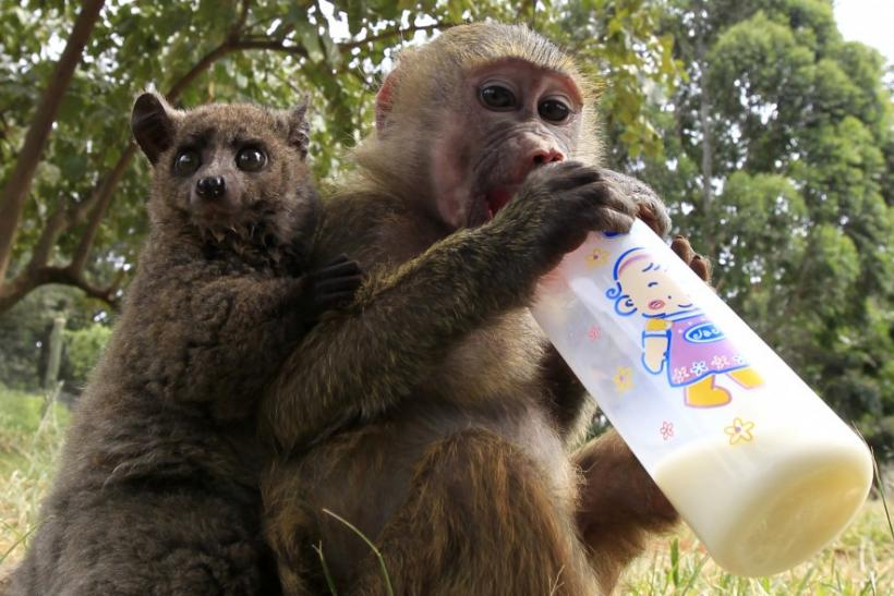 A seven-months-old yellow baboon drinks milk as it plays ...
