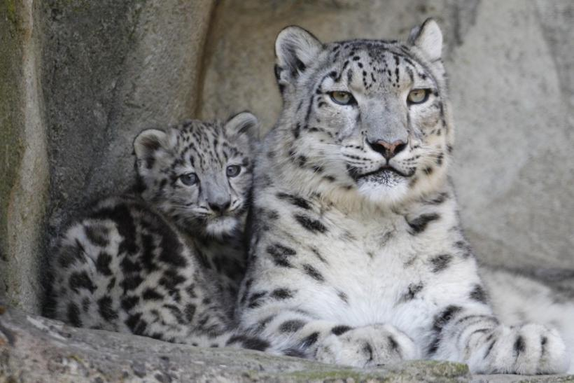 Snow Leopard Cubs the Cutest Baby Animal Ever? [PHOTOS ...