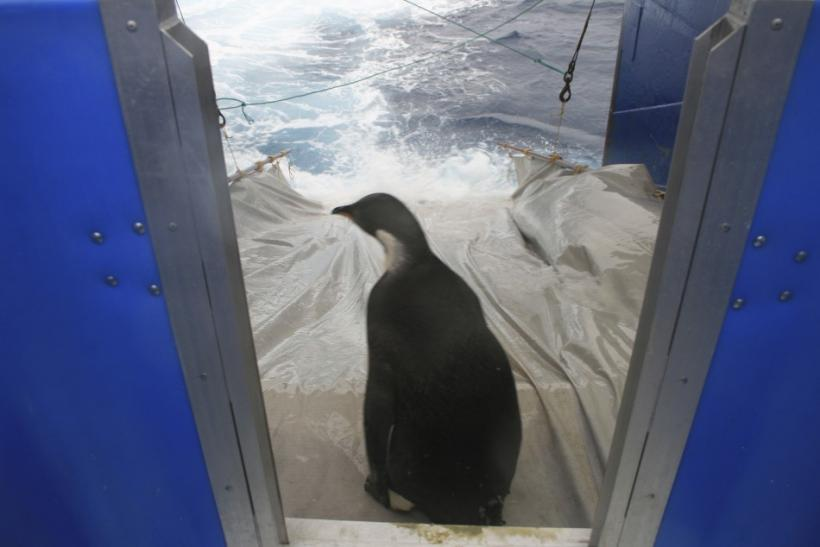 'Happy Feet' Emperor Penguin Heads for Final Destination