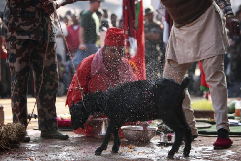 indus prepare a goat for sacrifice during the Dasain festival in Kathmandu