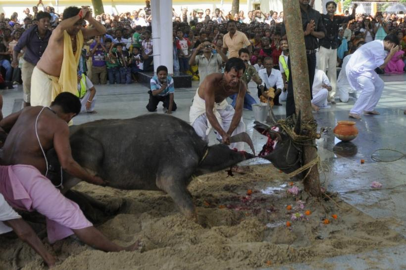 Devotees sacrifice a buffalo calf as part of a ritual during the Durga Puja festival in Agartala